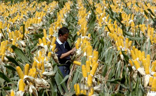 Father Of Hybrid Rice Plants Corn Beijing Review