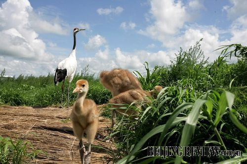 Red Crowned Crane Baby Baby red-crowned cranes at